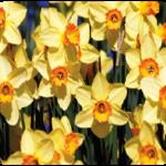 daffodil-150x150