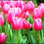 tulips-150x150