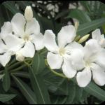 white_oleander-150x150